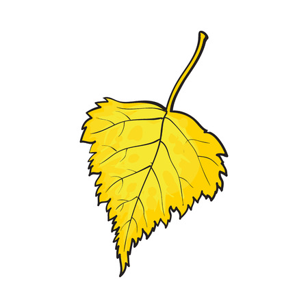 Beautiful yekkiw colored autumn birch leave, vector illustration isolated on white background. Botanical drawing of a fallen yellow birch leaf, fall season, autumn decoration element Illustration