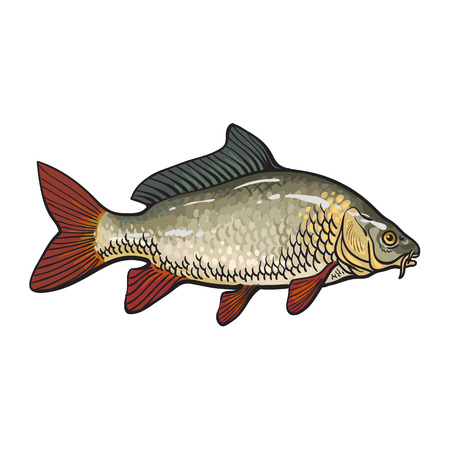 common carp: Hand drawn golden carp, sketch style vector illustration isolated on white background. Colorful realistic drawing of a golden carp, edible freshwater fish Illustration