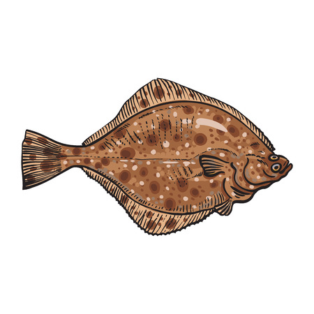 Hand drawn flounder, sketch style vector illustration isolated on white background. Colorful realistic drawing of a flounder or flatfish, edible freshwater fish Illustration
