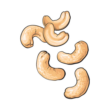 Whole and peeled cashew nuts, vector illustration isolated on white background. Drawing of cashew nuts on white background, delicious healthy vegan snack