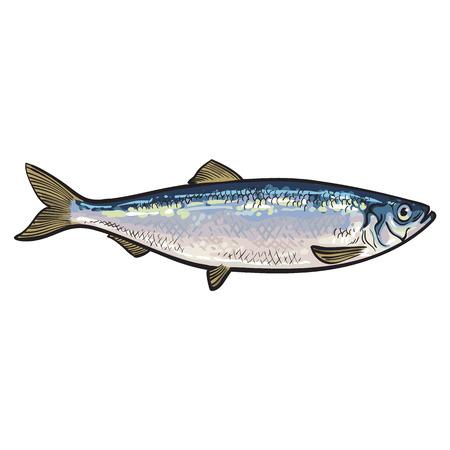 손으로 그려진 된 실버 청어, 스케치 스타일 벡터 일러스트 레이 션 흰색 배경에 고립. 청어, 식용 해양 물고기의 다채로운 현실적인 드로잉 일러스트