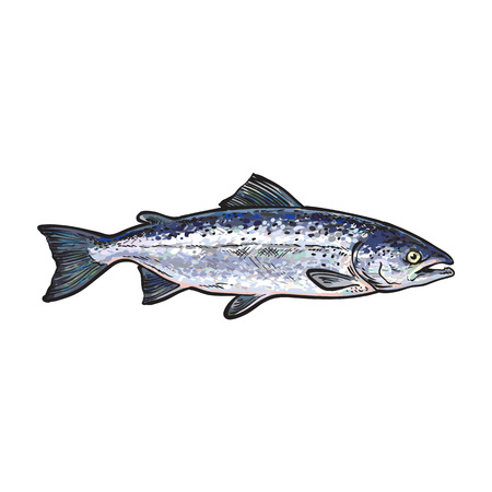 edible fish: Hand drawn norvegian salmon, sketch style vector illustration isolated on white background. Colorful realistic drawing of a salmon, edible marine fish