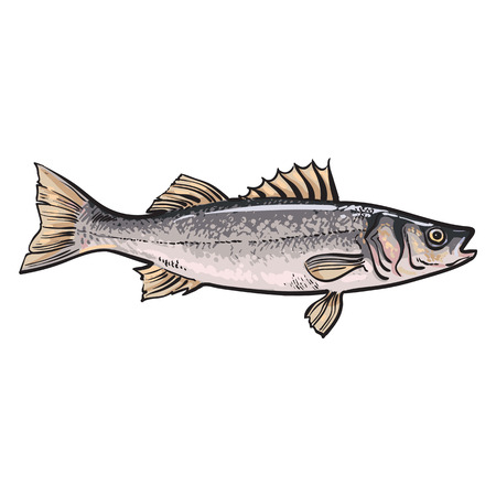 edible fish: Hand drawn seabass, sketch style vector illustration isolated on white background. Colorful realistic drawing of a seabass, edible marine fish