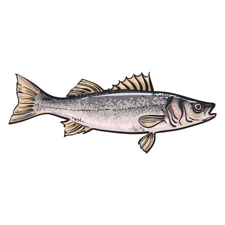 Main bar dessiné, croquis style vecteur illustration isolé sur fond blanc. dessin réaliste coloré d'un bar, les poissons marins comestibles Banque d'images - 64764961