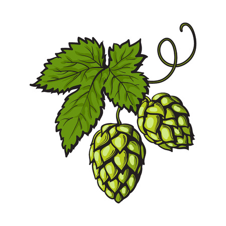 Green hop plant, sketch style vector illustration isolated on white background. Realistic hand drawn ripe green hop cones, beer brewing ingredient