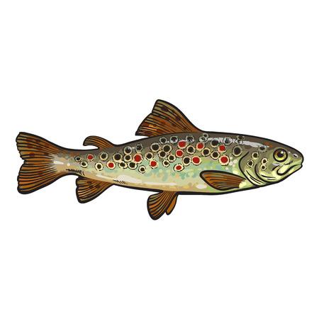 Mano trucha arco iris dibujado, ejemplo del vector del estilo del bosquejo aislado sobre fondo blanco. colorido dibujo realista de una trucha, pez marino comestible
