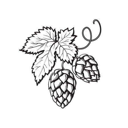 Green hop plant, sketch style vector illustration isolated on white background. Realistic hand drawn ripe hop cones, beer brewing ingredient