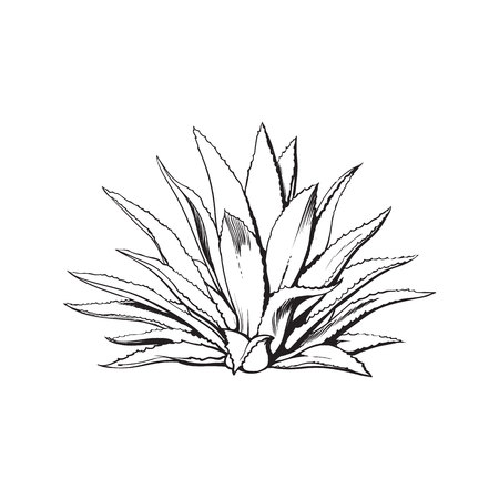 agave: Hand drawn blue agave, main tequila ingredient, sketch style vector illustration isolated on white background. Drawing black and white of agave cactus, side view, colorful illustration