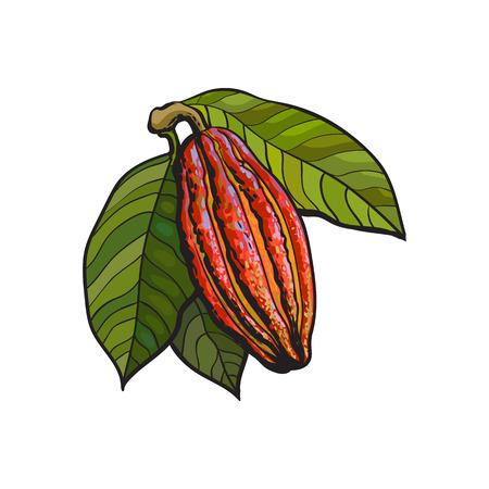 reife Kakaofrucht auf einem Ast hängen, Abbildung Skizze Stil auf weißem Hintergrund. Bunte Abbildung von Kakaofrucht mit Blättern auf einem Baum hängen