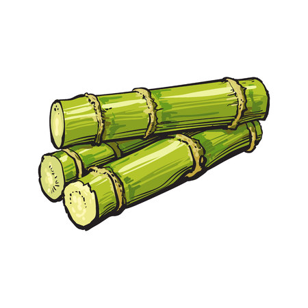 rum: Pile of fresh raw green sugar cane, sketch style vector illustration isolated on white background. Realistic hand drawing of green sugarcane, Jamaican rum ingredient