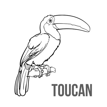 seating: Hand drawn toucan seating on a tree branch, colorful sketch style vector illustration isolated on white background. Hand drawing of toucan, scientific ornithological illustration