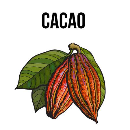 Dibujado a mano fruta de cacao maduro colgando de una rama, boceto ilustración de vector de estilo aislado sobre fondo blanco. Ilustración colorida de la fruta de cacao con hojas colgando de un árbol