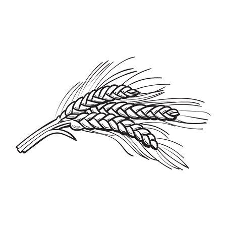 Hand getrokken bos van mout, gerst oren, schets stijl vector illustratie op een witte achtergrond. getekende zwart-wit Hand rijpe oren van mout, gerst, tarwe of rogge