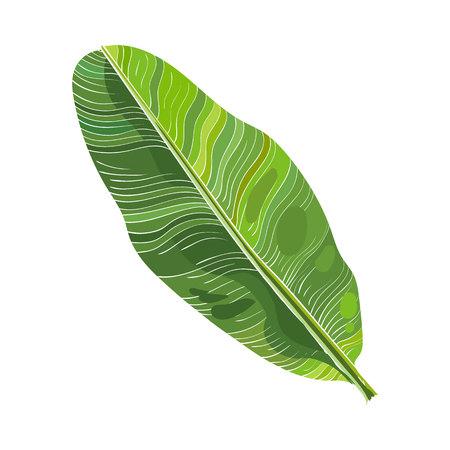 Folha fresca completa da palmeira da banana, ilustração do vetor isolada no fundo branco. Mão realista, desenho de banana, folha de árvore de palma, elemento de design floresta selva