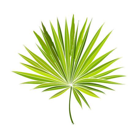 Full fresh fan vormige blad van palmetto boom, vector illustratie geïsoleerd op een witte achtergrond. Realistische handtekening van palmetto palmblad, ontwerpelement van junglebos Vector Illustratie