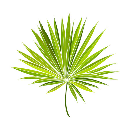 Full fresh fan shaped leaf of palmetto tree, vector illustration isolated on white background. Realistic hand drawing of palmetto palm tree leaf, jungle forest design element Illustration