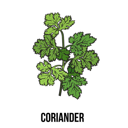 Coriander herb, cilantro, Chinese parsley leaves, sketch style vector illustration isolated on white background. Realistic hand drawing of coriander, cilantro branch, popular spice and seasoning Illustration