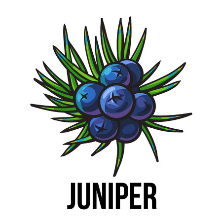 gin: Juniper berries, sketch style vector illustration isolated on white background. Realistic hand drawing of juniper berries, evergreen plant used for making gin, spicing and seasoning