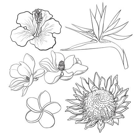 Fleurs tropicales - hibiscus, protea, plumeria, oiseau de paradis et de magnolia, croquis style vecteur illustration isolé sur fond blanc. dessin exotiques, fleurs tropicales main réaliste Banque d'images - 67983058
