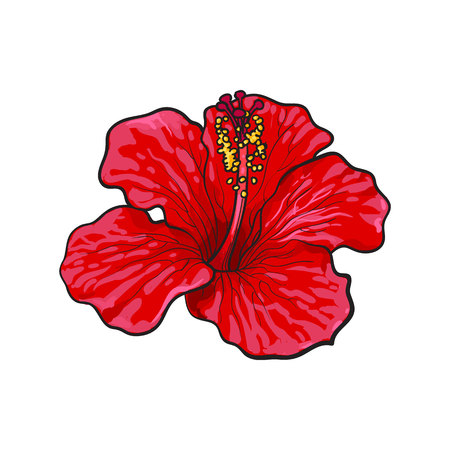 Sola flor tropical del hibisco rojo brillante, ilustración del vector del estilo del bosquejo aislada en el fondo blanco. Colorido dibujo a mano realista de flor de hibisco de color rojo, carmesí
