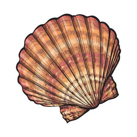 Colorful scallop sea shell, sketch style vector illustration isolated on white background. Realistic hand drawing of saltwater scallop seashell, clam, conch
