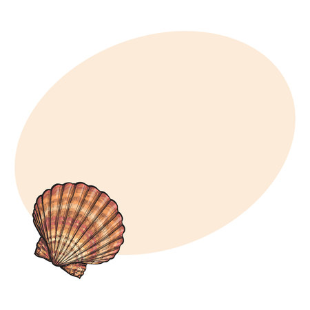 clam illustration: Colorful scallop sea shell, sketch style vector illustration isolated on background with place for text. Realistic hand drawing of saltwater scallop seashell, clam, conch