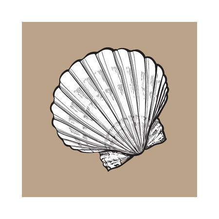clam illustration: white scallop sea shell, sketch style vector illustration isolated on brown background. Realistic hand drawing of saltwater scallop seashell, clam, conch