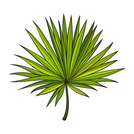 palmetto: Full fresh fan shaped leaf of palmetto tree, sketch style vector illustration isolated on white background. Realistic hand drawing of palmetto palm tree leaf, jungle forest design element