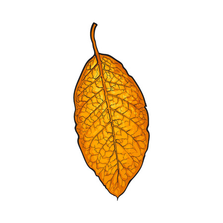 evaporation: Hand drawn dry tobacco leaf, sketch vector illustration isolated on white background. Realistic hand-drawing of dry tobacco leaf, raw material for cigarettes, cigars production Illustration