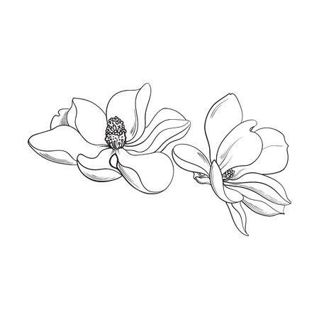 springtime: Two magnolia flowers, sketch style vector illustration isolated on white background. realistic hand drawing of magnolia blossoms, springtime flowers