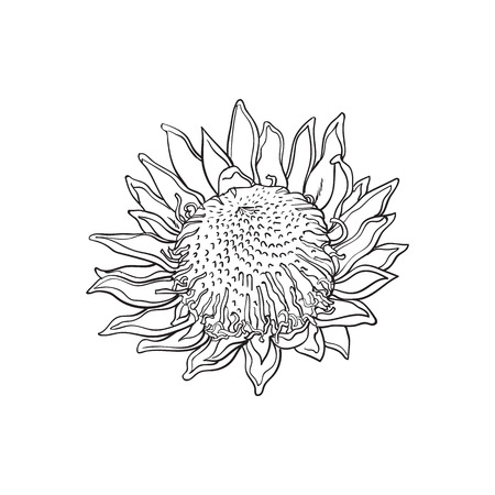 flowerhead: Single king protea, sketch style vector illustration isolated on white background. realistic hand drawing of exotic, tropical protea, national flower of South Africa