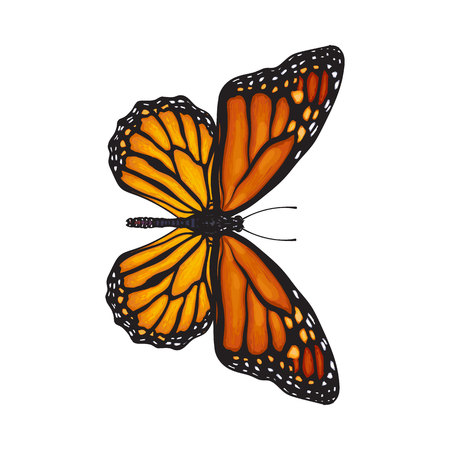 Top view of beautiful monarch butterfly, sketch illustration isolated on white background. color Realistic hand drawing of monarch butterfly on white background Illustration