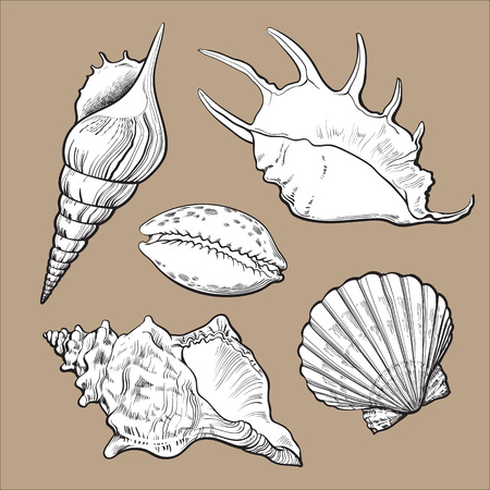 clam illustration: Set of various white beautiful mollusk sea shells, sketch style illustration isolated on brown background. Realistic hand drawing of seashells like conch, kauri, oyster, spiral, clam and mollusk shell Illustration