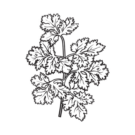 Coriander herb, cilantro, Chinese parsley leaves, sketch style vector illustration isolated on white background. Realistic hand drawing of coriander, cilantro branch, popular spice and seasoning Vettoriali