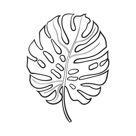 Hoja fresca completa de monstera palmera, ilustración vectorial de estilo de boceto aisladas sobre fondo blanco. Dibujo a mano realista de la hoja de la palmera monstera, selva elemento de diseño forestal