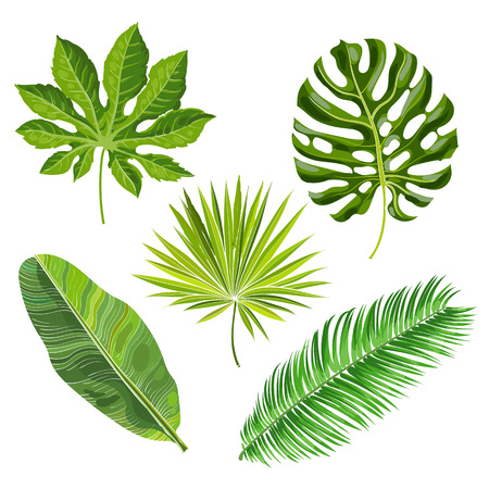 Reeks tropische palmbladen, vectordieillustratie op witte achtergrond wordt geïsoleerd. Realistische handtekeningen van monstera, banaan, palmen als jungle, tropische bosontwerpelementen