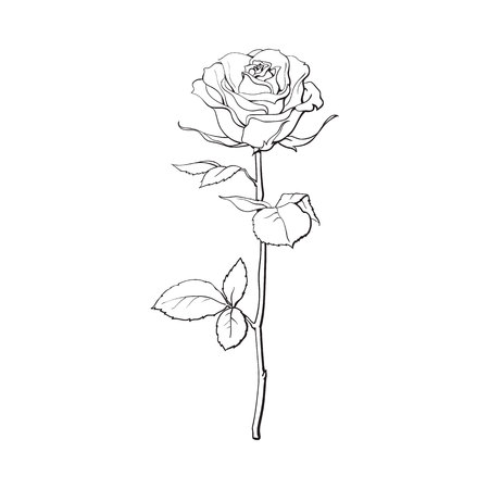 Deep contour rose flower with green leaves, sketch style vector illustration isolated on white background. Realistic hand drawing of open rose, symbol of love, decoration element Imagens - 69596809