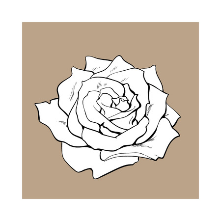 Deep contour rose bud, top view sketch style vector illustration isolated on brown background. Realistic hand drawing of open rose flower, decoration element