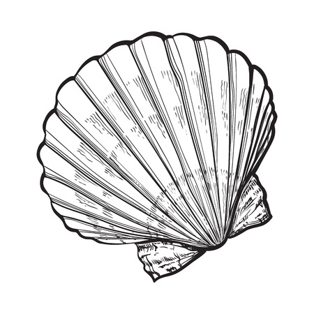scallop sea shell, sketch style vector illustration isolated on white background. Realistic hand drawing of saltwater scallop seashell, clam, conch 版權商用圖片 - 69596908
