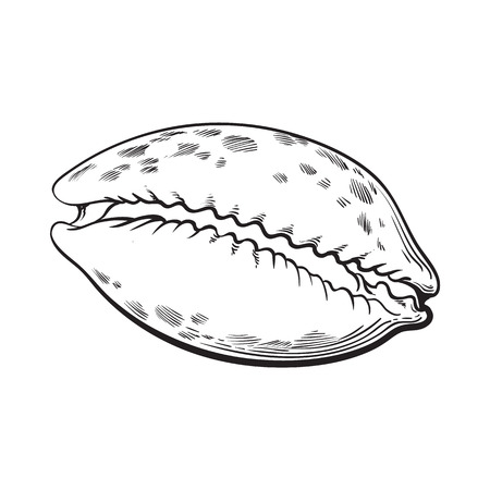 cowrie or cowry sea shell, sketch style vector illustration isolated on white background. Realistic hand drawing of shiny saltwater sea snail, cowrie shell with tiger pattern