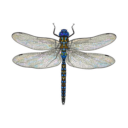 Top view of blue dragonfly with transparent wings, sketch illustration isolated on white background. color Realistic hand drawing of dragonfly insect on white background