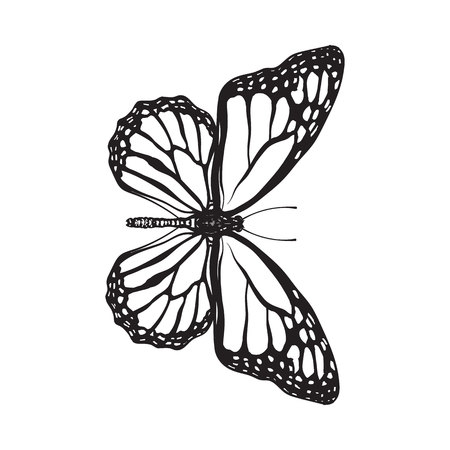 milkweed: Top view of beautiful monarch butterfly, sketch illustration isolated on white background. black and white Realistic hand drawing of monarch butterfly on white background