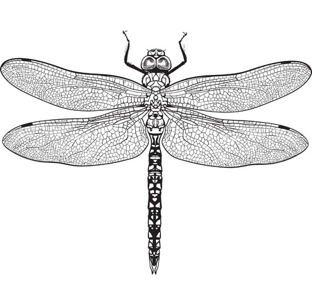 Top view of blue dragonfly with transparent wings, sketch illustration isolated on white background. black and white Realistic hand drawing of dragonfly insect on white background Illustration
