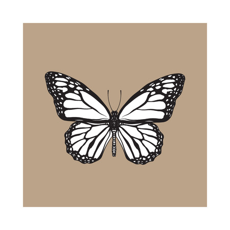 milkweed: Top view of beautiful monarch butterfly, sketch illustration isolated on brown background. black and white Realistic hand drawing of monarch butterfly on white background