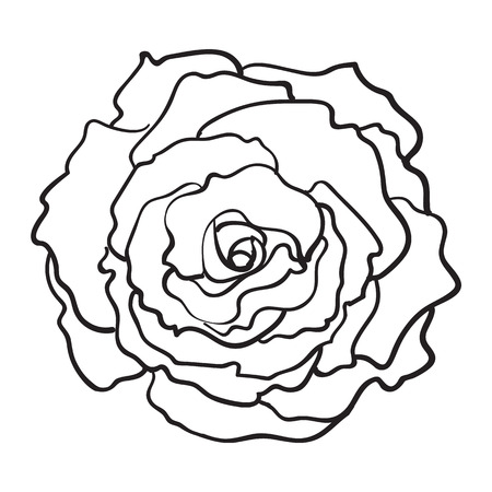 Deep contour rose bud, top view sketch style vector illustration isolated on white background. Realistic hand drawing of open rose flower, decoration element