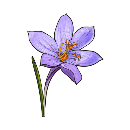 148 Delicate Crocus Stock Illustrations, Cliparts And Royalty Free ...