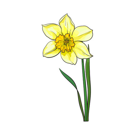 Single yellow daffodil, narcissus spring flower with stem and leaves, sketch vector illustration isolated on white background. Realistic hand drawing of daffodil spring flower in vertical position Illustration