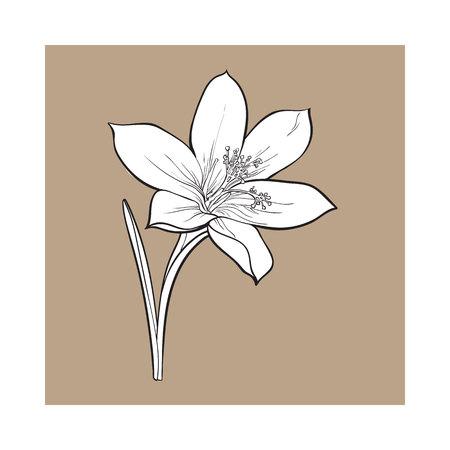 Empfindliche einzelne Krokusfrühlingsblume mit Stamm und Blatt, Skizzenart-Vektorillustration lokalisiert auf braunem Hintergrund. Realistische Handzeichnung von Krokus, erste Frühlingsblume in vertikaler Position