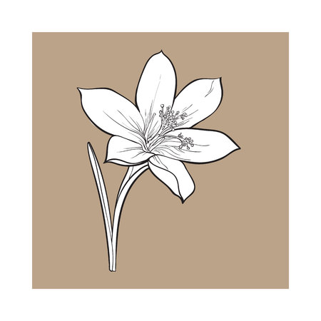 Delicate single crocus spring flower with stem and leaf, sketch style vector illustration isolated on brown background. Realistic hand drawing of crocus, first spring flower in vertical position Illustration