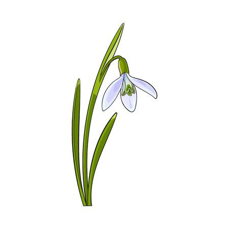 Galanthus singolo, fiore bucaneve primavera con gambo, foglie, disegno illustrazione vettoriale isolato. disegno a mano realistica di Galanthus, bucaneve, fiore di primavera in posizione verticale Vettoriali
